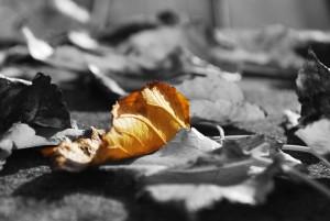 Die Blätter verlieren allmählich ihr Grün, sie verfärben sich rot, gelb, braun oder golden, werden trocken und fallen ab...